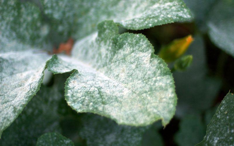 best fungicides against powdery mildew