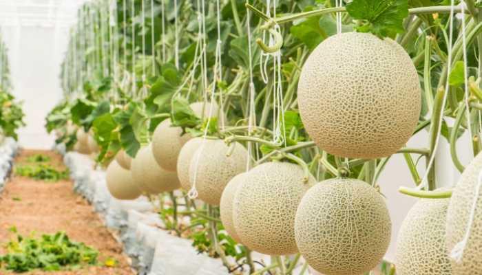 Fertilizer-For-Cantaloupe