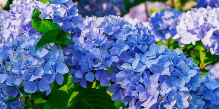 fertilizer for hydrangeas