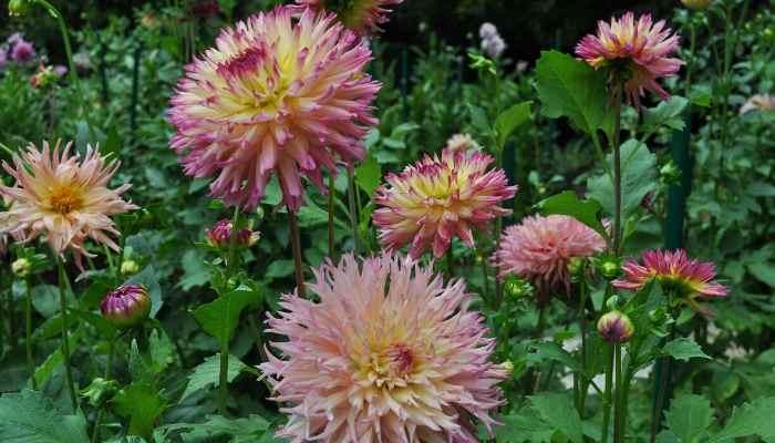 fertilizer for dahlias