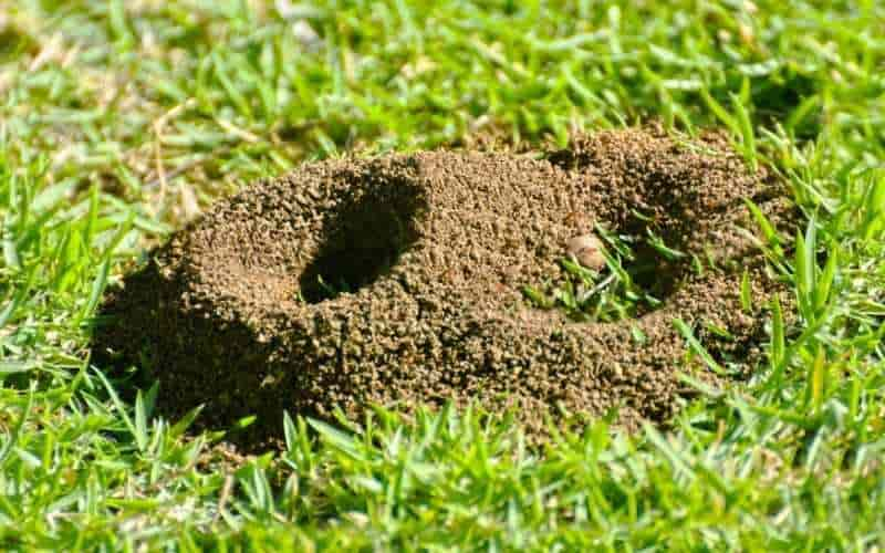 ants in yard infestataion