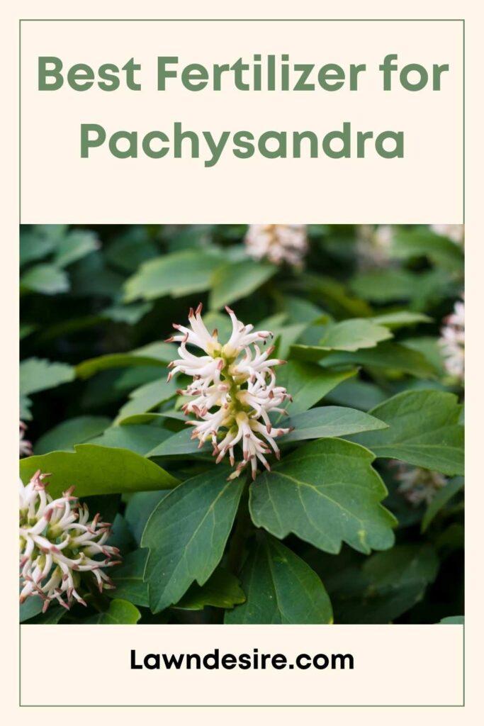Fertilizer for Pachysandra