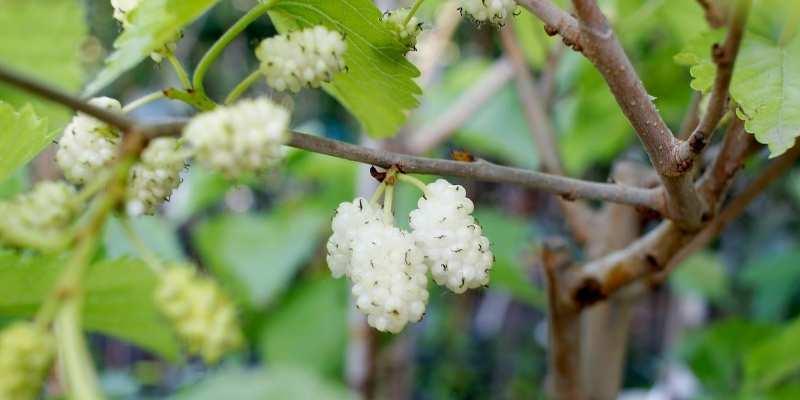 White Mulberry Tree