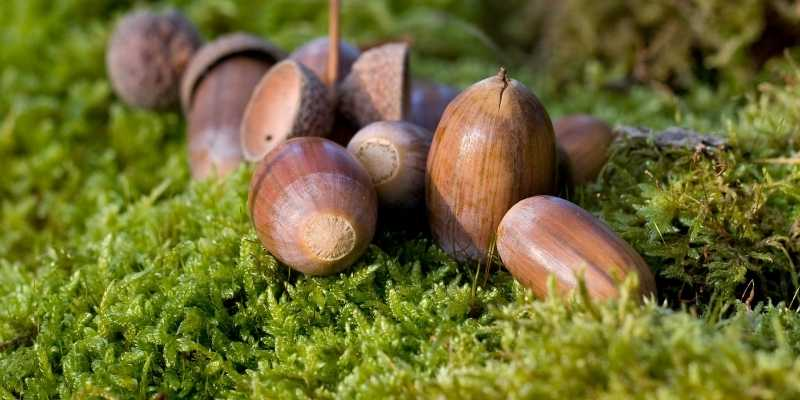removal of acorns